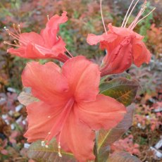 Deciduous Azalea Chariots of Fire