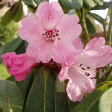Rhododendron faucium AFF. KR6229