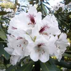 Rhododendron galactinum 'Galacticus'