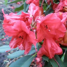 Rhododendron Mary Dale