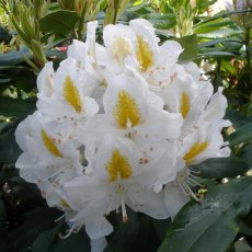 Rhododendron Mum