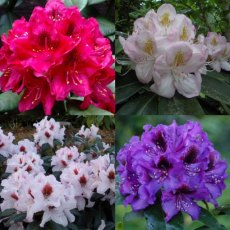 Hybrid Rhododendron Collection (4 x 5 litre plants)