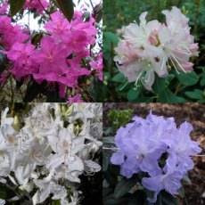 Rhododendron Small Leaved 'Seconds'