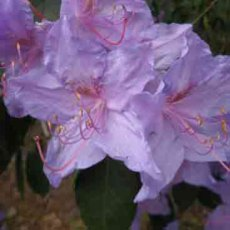 Rhododendron augustinii 'Bowood Blue' - Specimen Size