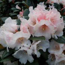 Rhododendron Wanna Bee - Open Ground Plant