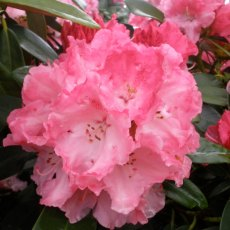 Rhododendron Rendezvous - Open Ground Plant