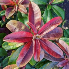 Rhododendron Moser's Maroon