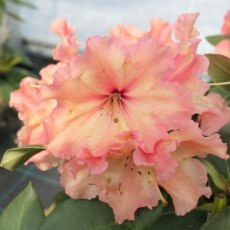 Rhododendron Sun Glory