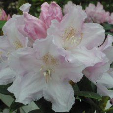 Rhododendron Hoppy - Open Ground Plant