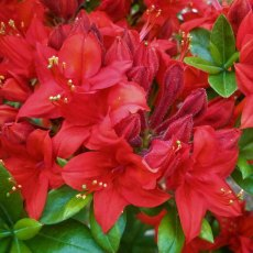 Deciduous Azalea Crosswater Red AGM