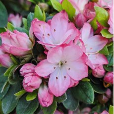Evergreen Azalea Bloom Champion Salmon
