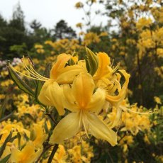 Deciduous Azalea luteum BOX DEAL (4 x 3 litre plants)