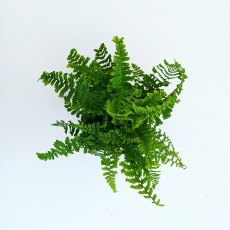 Dryopteris affnis 'Cristata The King'
