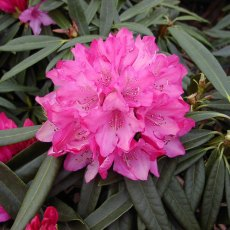 Rhododendron Rosa Perle