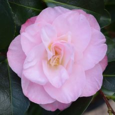 Camellia japonica 'Dr Tinsley' AGM