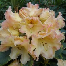 Rhododendron Butter Brickle - Open Ground Plant