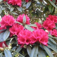 Rhododendron Bibiani - Open Ground Plant