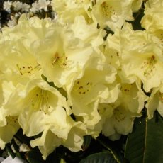 Rhododendron Beatrice Keir - Open Ground Plant