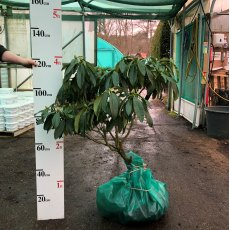 Rhododendron James Burchett  AGM - Open Ground Plant
