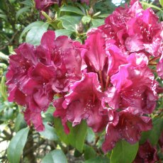 Rhododendron Cetewayo - Open Ground Plant