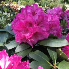 Rhododendron Walkure - Open Ground Plant