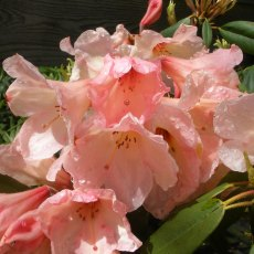 Rhododendron Vanessa (A) - Open Ground Plant