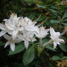 Deciduous Azalea Fragrant Memories