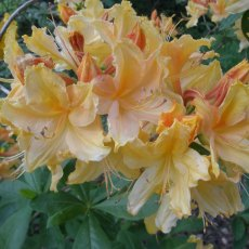Deciduous Azalea Golden Lights