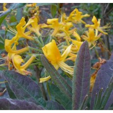 Deciduous Azalea luteum 'Purple Leaf'