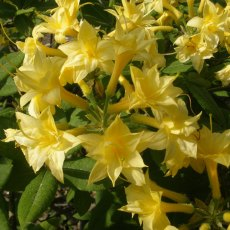 Deciduous Azalea Narcissiflorum  AGM