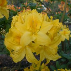 Deciduous Azalea Princess Margaret of Windsor