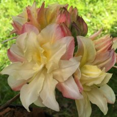 Deciduous Azalea Soft Lights