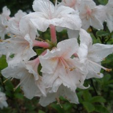 Deciduous Azalea Sugared Almond