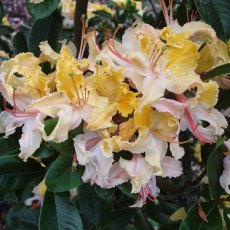 Deciduous Azalea Summer Sunshine