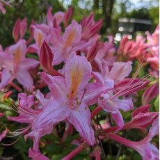 Deciduous Azalea Tower Beauty
