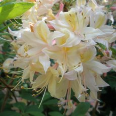 Deciduous Azalea Tower Dainty