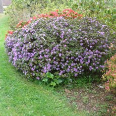 Buy Dwarf Rhododendrons And Alpine Rhododendrons Online