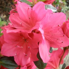 Evergreen Azalea Arabesk