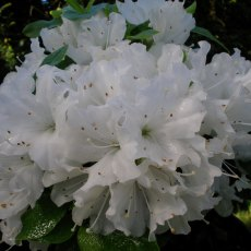 Evergreen Azalea Arctic Fox