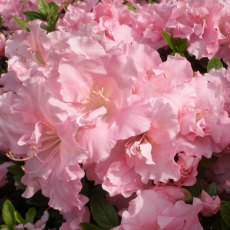Evergreen Azalea Betty Anne Voss