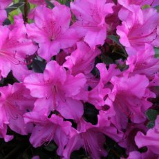 Evergreen Azalea Blue Danube  AGM