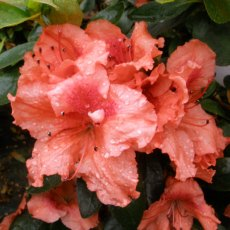 Evergreen Azalea Dear Grandad