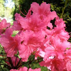 Evergreen Azalea Dear Grandma
