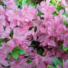 Evergreen Azalea Diamant Lilac