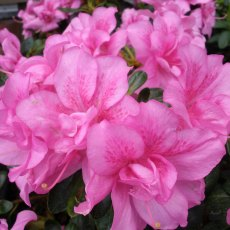 Evergreen Azalea Flower Arranger