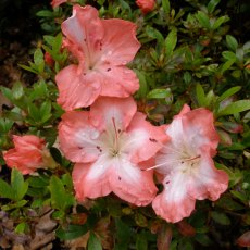 Evergreen Azalea Frosted Orange