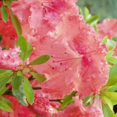 Evergreen Azalea General Wavell
