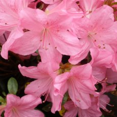 Evergreen Azalea Gilbert Mullie
