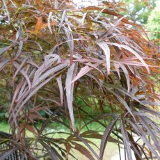 Acer palmatum 'Red Pygmy'  AGM