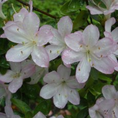 Evergreen Azalea Irohayama  AGM